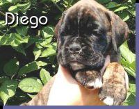 Diego von der Siegperle Wurftag: 25.06.2004 Zuchtbuchnummer: 223995